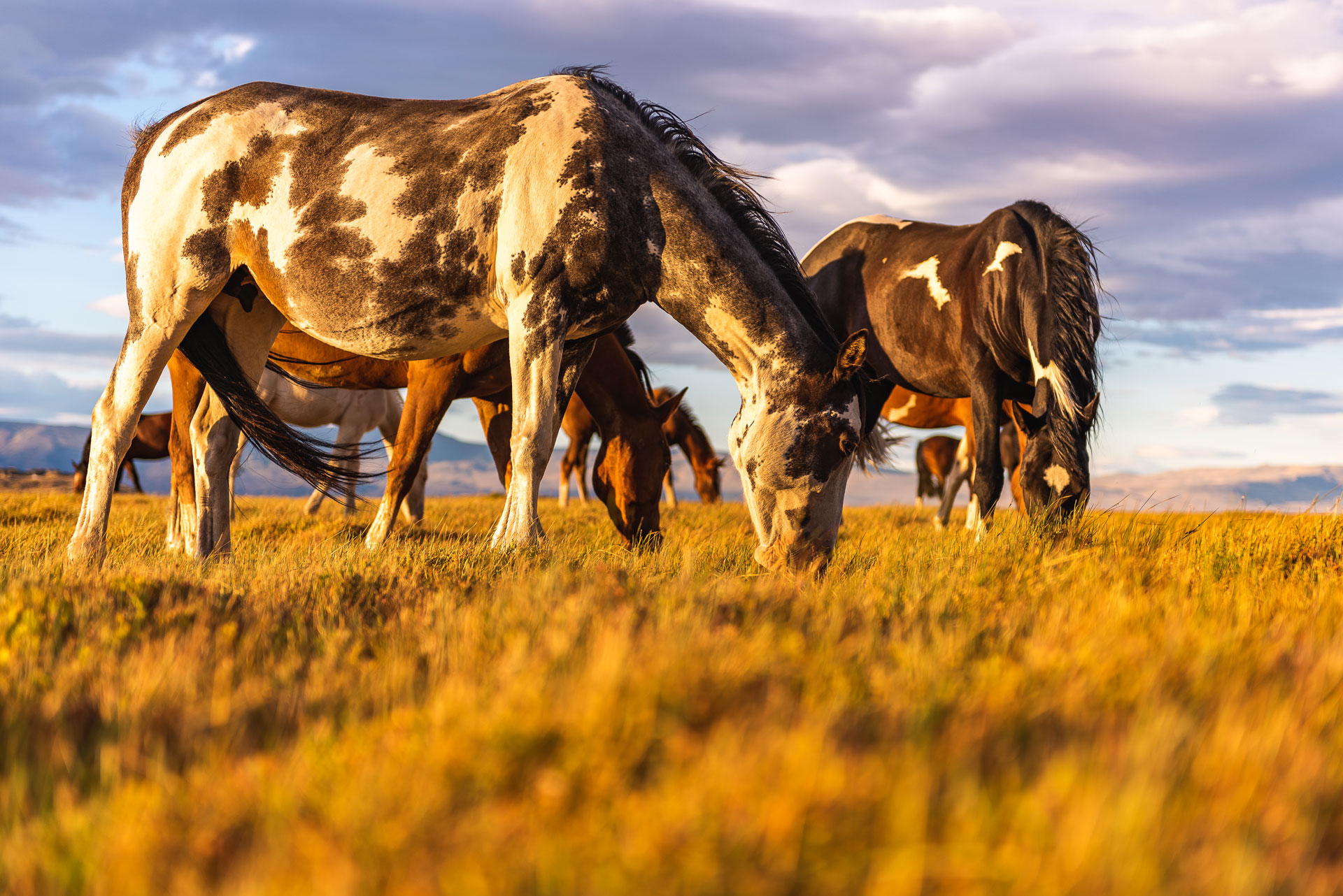 Horses in the fields of Patagonia