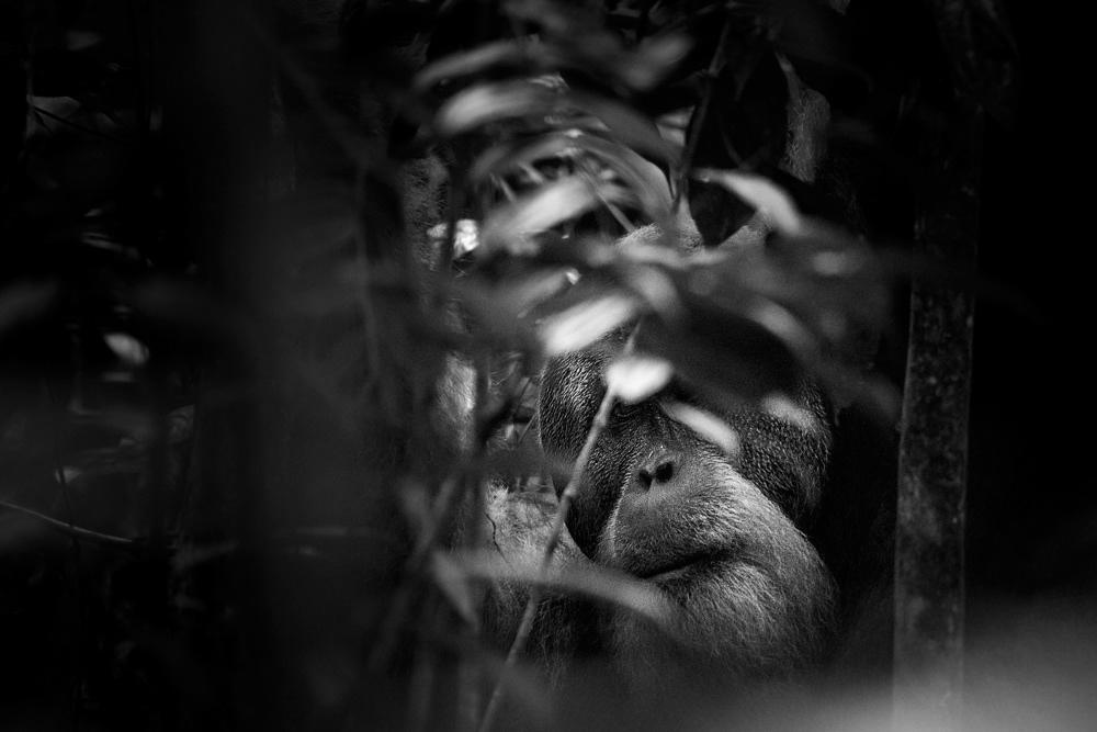 Orang Utans in the jungle of Bukit Lawang