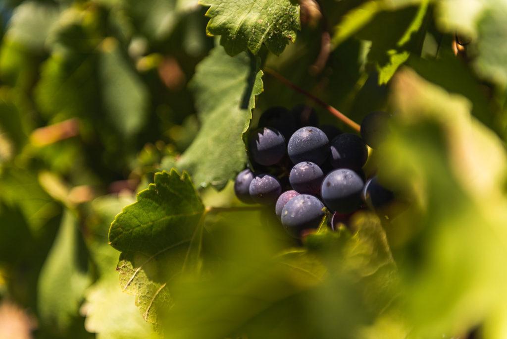 vine from mendoza