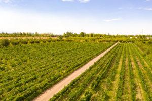 wineyards of Mendoza